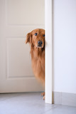 Golden Retriever at the door