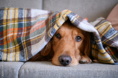 Golden retriever sleeping on the couch
