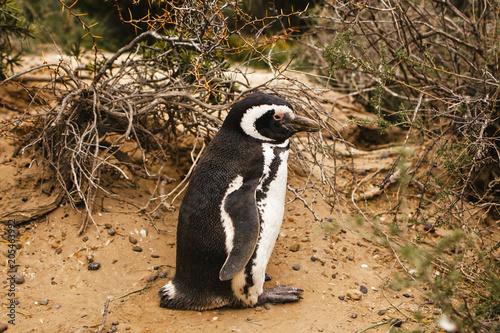 Plexiglas Pinguin penguins in Patagonia Peninsula de valdes Argentina, Magellanic Penguin