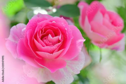 Fotobehang Roze バラの花