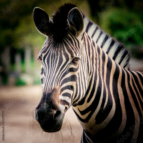 Fototapeta Zebra close up portrait