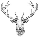 Deer head illustration, drawing, engraving, ink, line art, vector