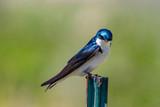 Tree Swallow #3 - 205481302
