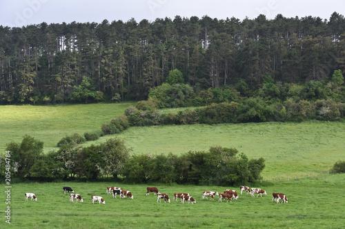 Plexiglas Pistache Paysage Belgique Wallonie environnement elevage betail vache