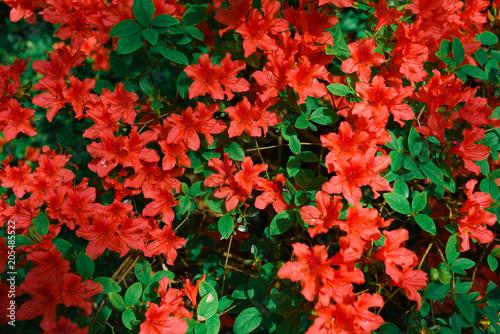Fotobehang Azalea Red azalea bush in the garden