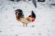 rooster stands on a white snow