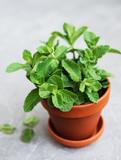 Fresh mint in a pot - 205490977
