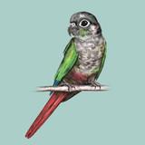 Green cheeked conure - 205493174