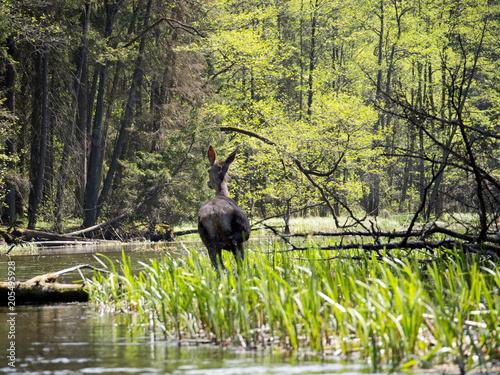 Jeleń w Wigierskim Parku Narodowym nad rzeką Czarną Hańczą