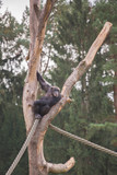 A chimpanzee on a wooden scaffold
