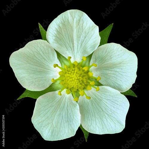 White  flower of wild strawberry isolated on  bkack background. Close-up. Element of design.