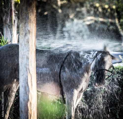Fridge magnet polo pony after polo in Sotogrande having a well deserved shower after playing polo