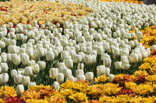 Fotobehang Tulpen Tulip festival Ottawa Canada 2018.