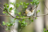 Willow Warbler in the spring