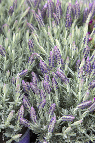 Fototapeta Lavender Plant Background