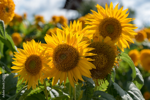 Foto Murales 向日葵の花