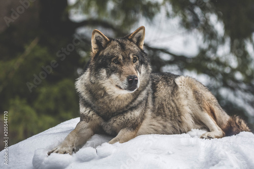 Fototapeta Loup canadien