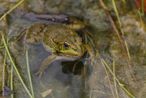 Plexiglas Kikker frog in a lovely lake