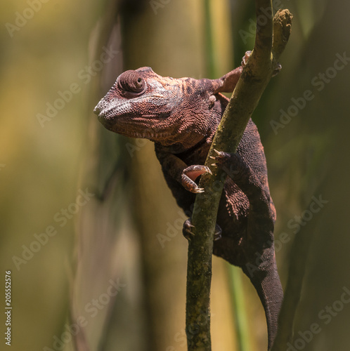 Fotobehang Kameleon Chamäleon