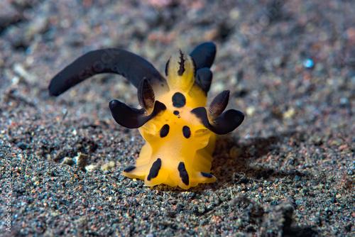 Plexiglas Bali Nudibranch Thecacera
