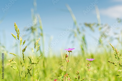Die wild wachsende Heilpflanze Storchschnabel leuchtet auf der Blumenwiese im Sonnenlicht vor einem perfekten hellblauen Himmel