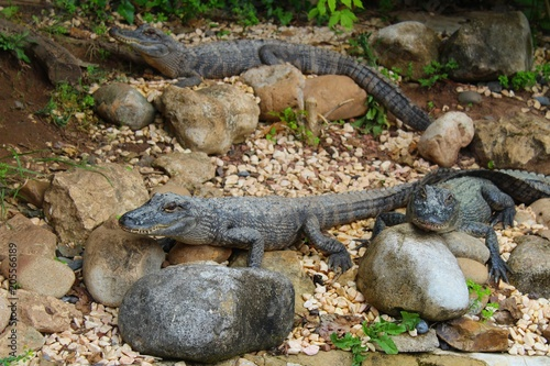 Fototapeta caimans dans leur enclos à l'aquarium