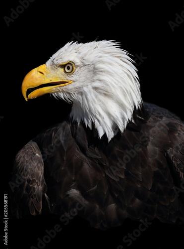 Canvas Eagle Amerikanischer Weißopf Seeadler