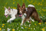 Two border collies in a spring flower meadow
