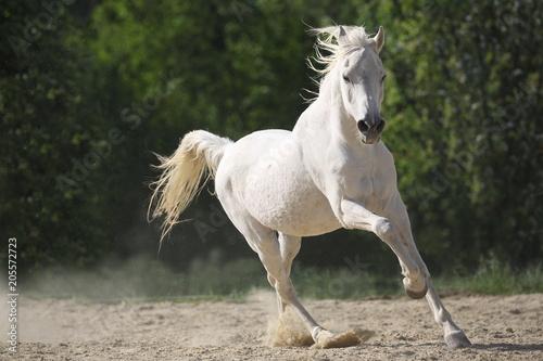 Weißes  Araber Pferd  frei laufend