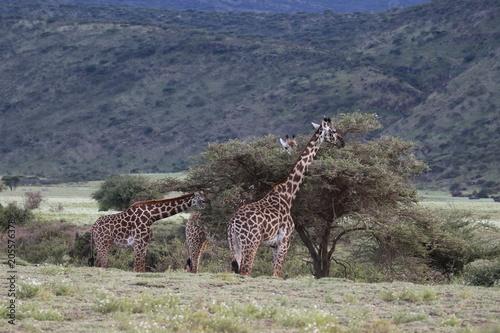 Fototapeta Masai Giraffe, Herd in the Evening, Serengeti, Tanzania
