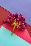 dried tulip closeup - 205604539