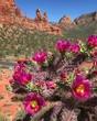 Cactus Flowers in Sedona, Arizona USA