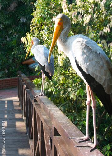 Aluminium Kuala Lumpur White stork at the bird park in Kuala Lumpur