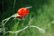 Blossoming Red Poppies Buds