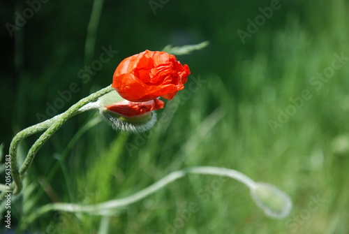 Blossoming Red Poppies Buds © Psychedelight Sense