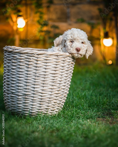 Foto Murales Cute puppy laying in the basket. night scene concept
