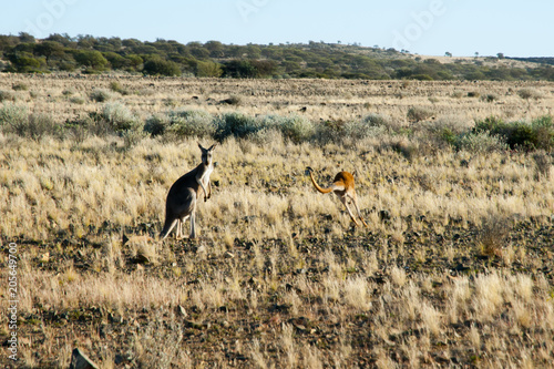 Aluminium Kangoeroe Kangaroos in the Outback