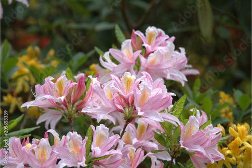 Aluminium Azalea Rhododendren blühen