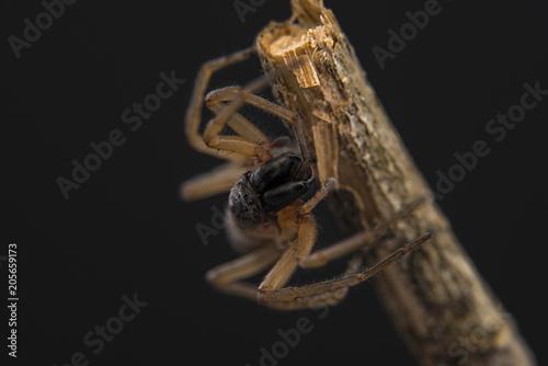 Fototapeta Ragno Clubiona / Clubionidae