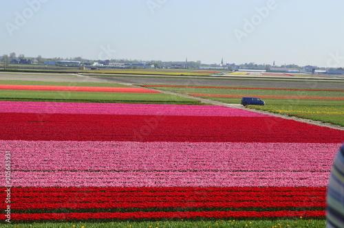 Fotobehang Tulpen Flowers field