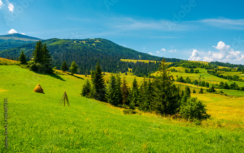 mountainous rural area on a bright summer day. rolling hills with haystacks and spruce forest. mountain ridge in the far distance.