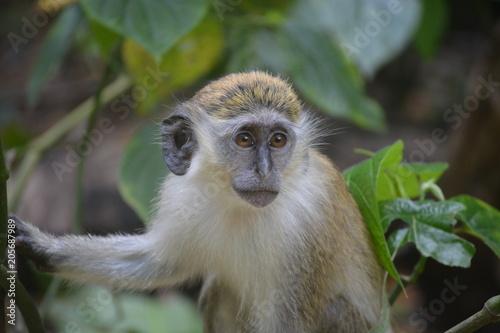 Obraz na płótnie Barbados Monkeys