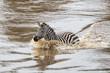 Zebra crossing the Mara River in the migraition season in the Masai Mara National Park in Kenya
