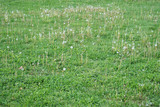 dandelion on green meadow in spring