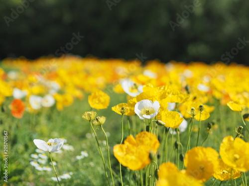 Fototapeta 満開に咲くポピー