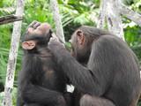 chimpanzé curage gros plan Congo