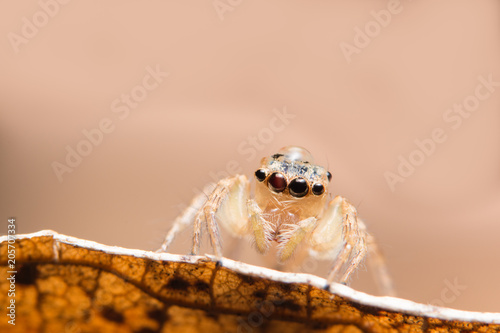 Fototapeta Macro spider on a branch of a leaf
