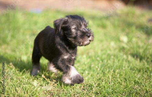 Mittelschnauzer puppy on green grass