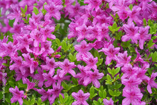 close up on blooming purple rhododendron in spring - 205708768