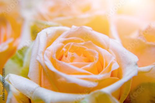 Foto Murales A bouquet of beige roses close-up